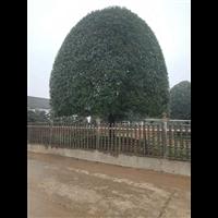 广西桂花树