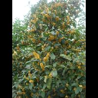 桂花树批发价格