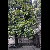 上海广玉兰