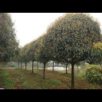 江苏桂花树