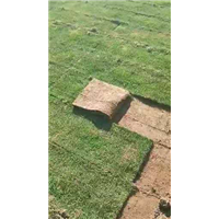 琼中台湾草皮卷报价单-琼中台湾草皮卷种植基地