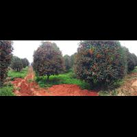 供应四季桂花树