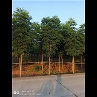 四川栾树苗圃供应-栾树大树移栽注意事项