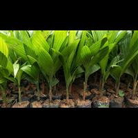 白沙槟榔苗品种-保亭槟榔苗多少钱