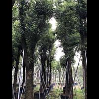 常德香樟树价格_10公分香樟树小苗价格
