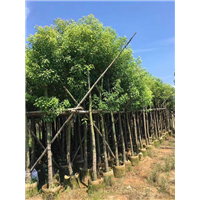 郴州香樟树种植苗圃_18公分香樟树苗多少钱一棵?