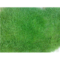 广东草坪_广东百慕大混播草坪种植基地