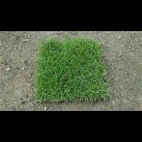 张家界草皮_张家界马尼拉草皮多少一平米?