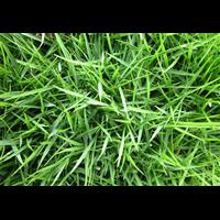 广州草坪_广州马尼拉草皮好不好?