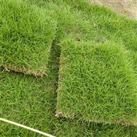 怀化草皮_怀化百慕大混播草坪多少一平米?