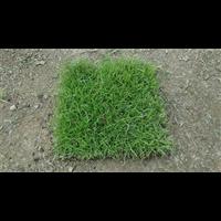 永州草坪_永州马尼拉草坪出售价格