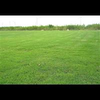 南宁草皮_南宁百慕大混播草坪多少一平米?