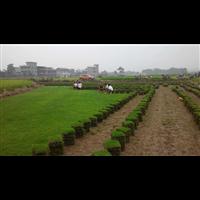 信阳马尼拉草皮