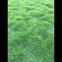 漯河马尼拉草坪