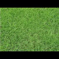 平顶山马尼拉草坪