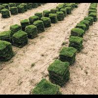 信阳马尼拉草坪