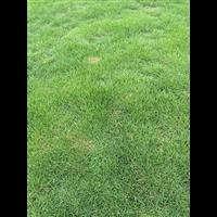 南阳马尼拉草坪