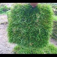 洛阳马尼拉草皮