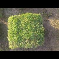 焦作马尼拉草皮