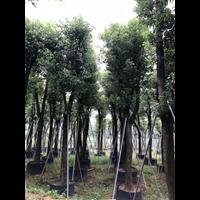 许昌香樟树