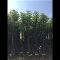 鹤壁香樟树
