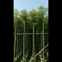 南阳香樟树
