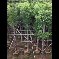 河南香樟树