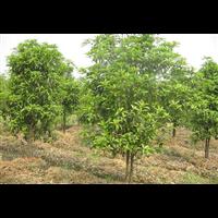 南阳桂花树