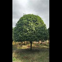 鹤壁桂花树