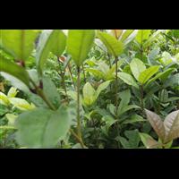 信阳桂花树