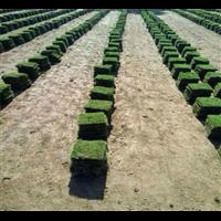东方马尼拉草皮报价-东方马尼拉草皮成活率高