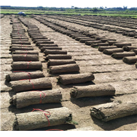海口台湾草皮卷报价-海口台湾草皮卷成活率高