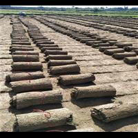 文昌台湾草皮卷价格-文昌台湾草皮卷成活率高