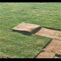 白沙台湾草皮卷基地-白沙台湾草皮卷多少钱