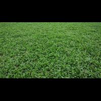 海南大叶油草自产自销