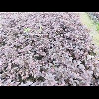 成都红花继木种植基地