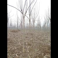 河南楸樹:周口楸樹-速生楸樹種植