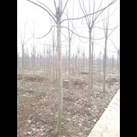 周口楸樹:許昌楸樹小苗  金絲楸樹種植