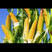 玉米-南安官桥粮油配送公司御禾生鲜提供