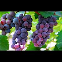 葡萄-南安石井蔬菜水果月票配送公司新鲜采摘hxb871现场提供