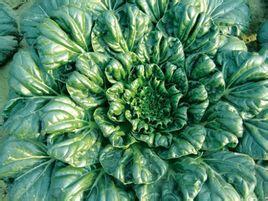 卷青菜-南安水头蔬菜ballbet登陆公司