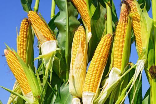 玉米-南安官桥粮油ω配送公司御禾生鲜提供