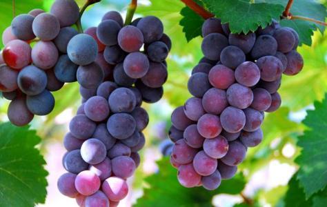葡萄-南感觉安石井蔬菜水果配送公司新鲜采摘现场已经回不了头提供