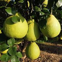 廣西沙田柚