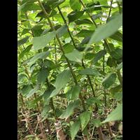 廣西茂谷柑苗