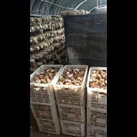 唐山蘑菇种植