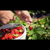 昌他都��追求到手黎草莓种植