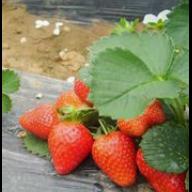 昌黎草莓种★植销售