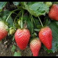 秦皇岛草莓解释种植
