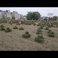 广西草皮-南宁草皮